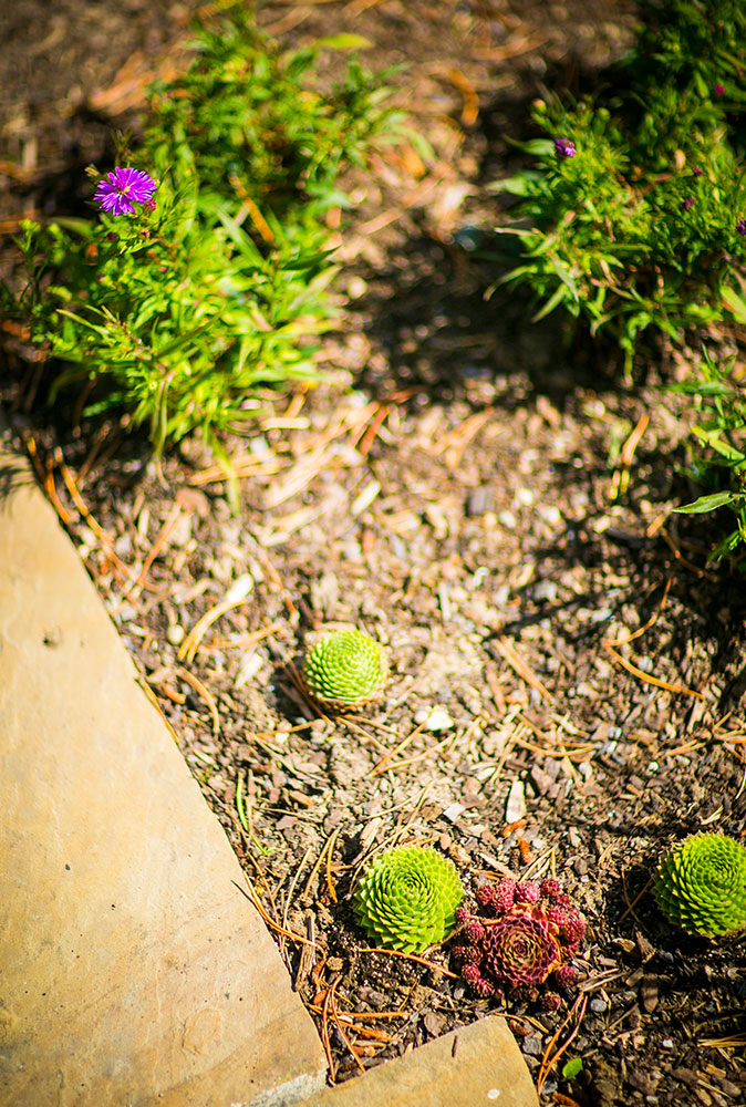 Image of succulents in a garden